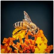 Le  api, i fiori etc. (2/3)